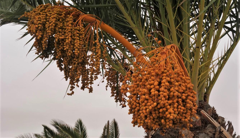 Datlová palma