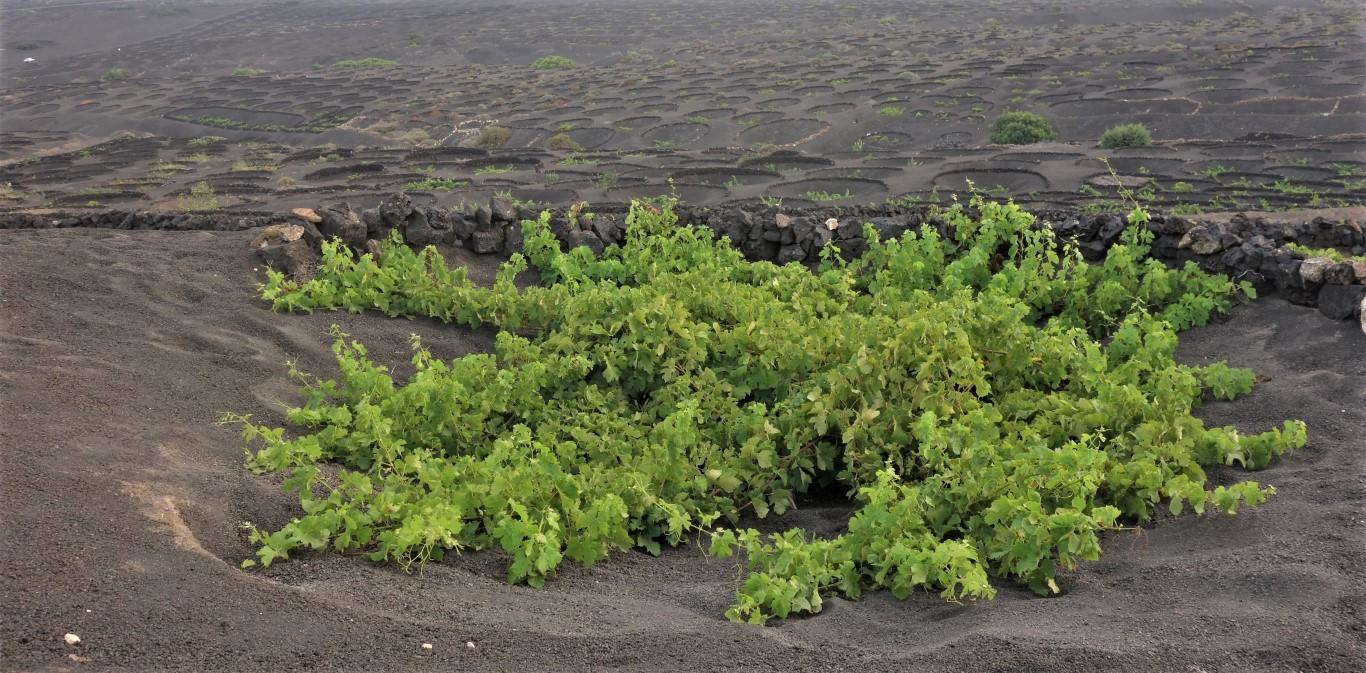 Vinné hlavy v dírách ze sopečného popela - typické pro oblast La Gería