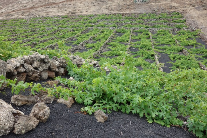 Lanzarote, ve vinohradech se pěstuje poléhavá réva