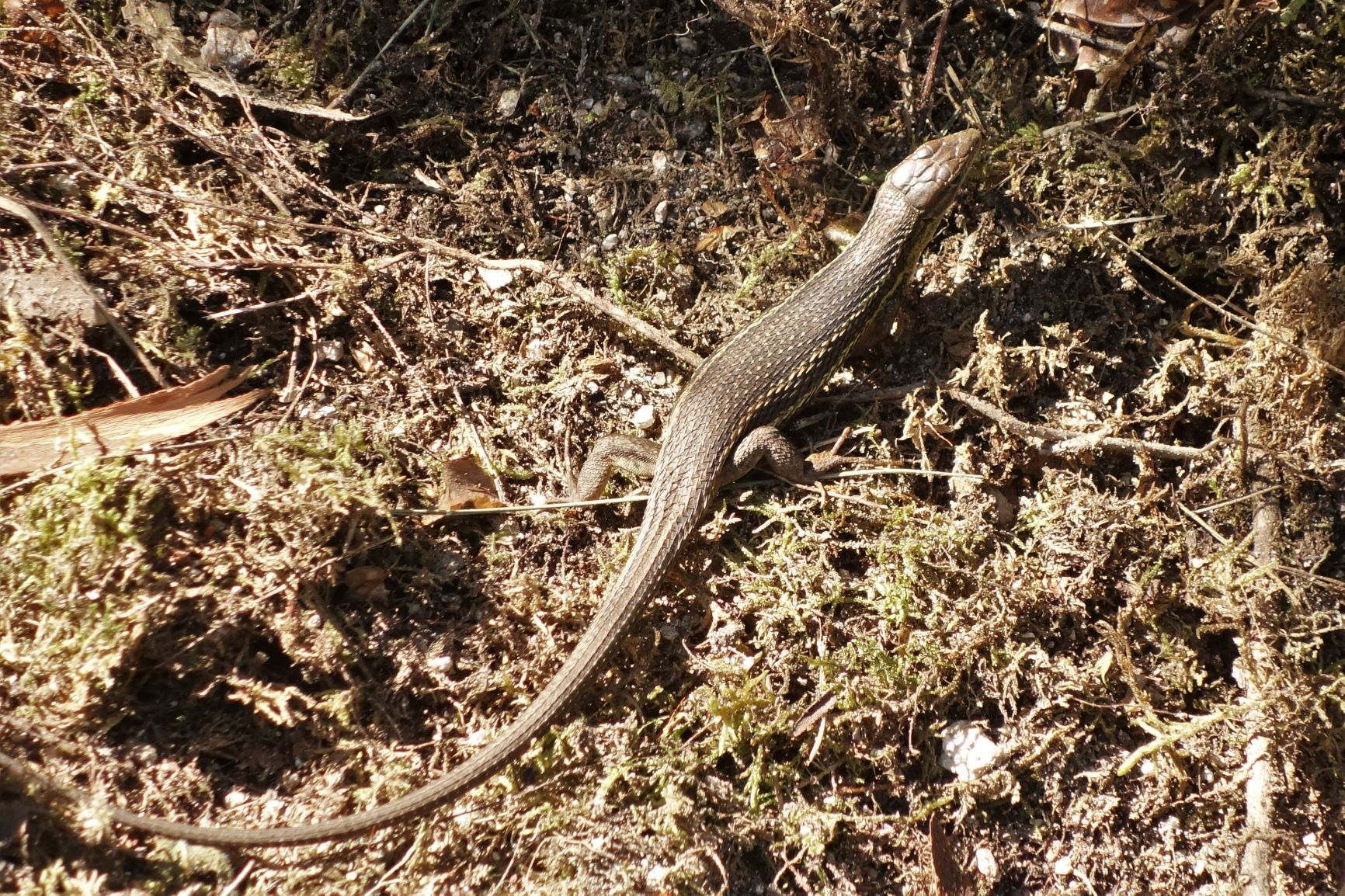 Paještěrka alžírská (Psammodromus algirus)