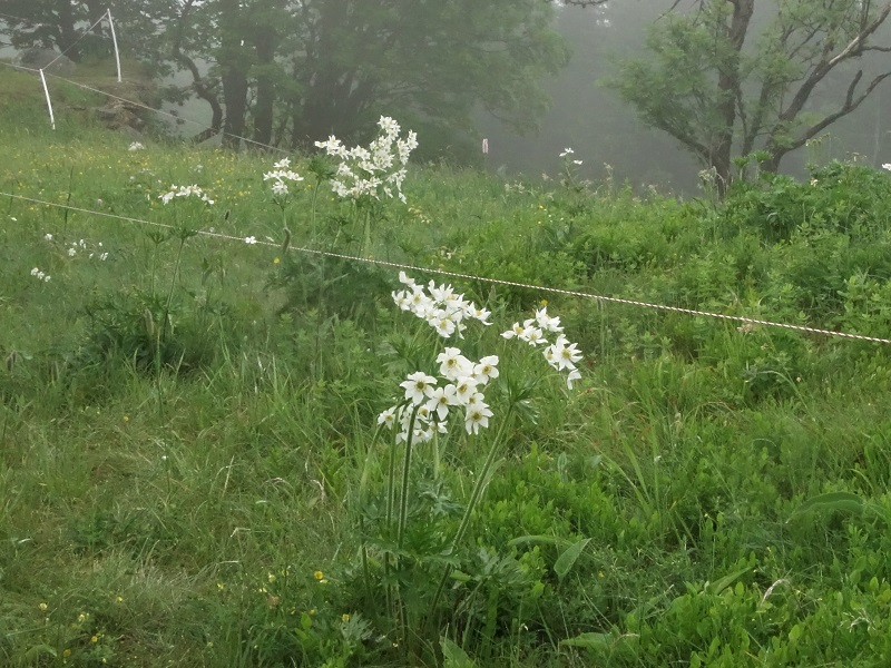 Flora Krkonoš, sasanka narcisokvětá