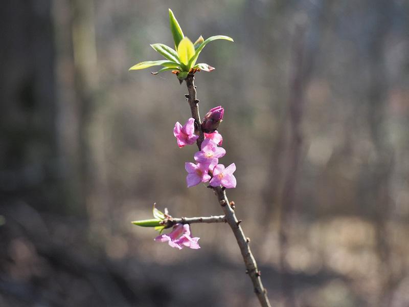 Flora Krkonoš, lýkovec jedovatý