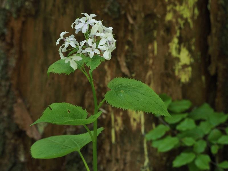 Flora Krkonoš, měsíčnice vytrvalá