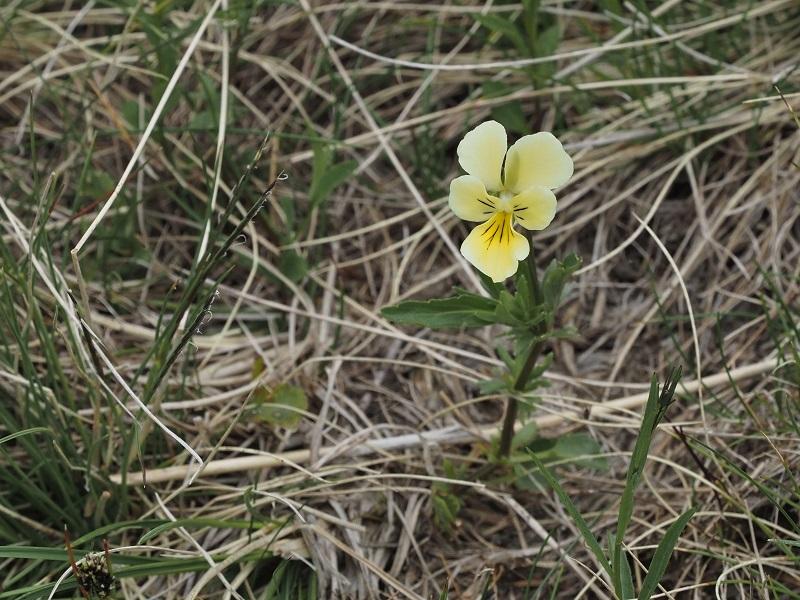 Flora Krkonoš, violka sudetská žlutá