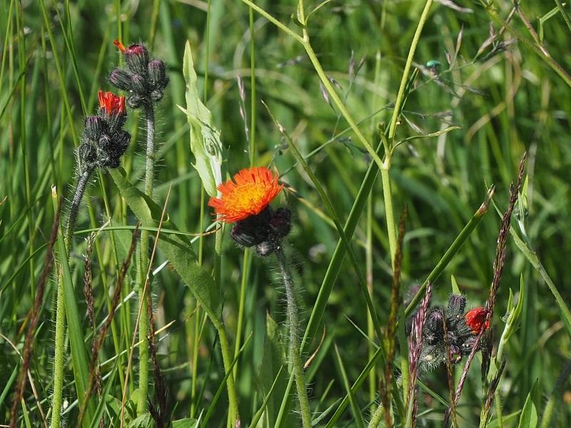 Flora Krkonoš, jestřábník oranžový