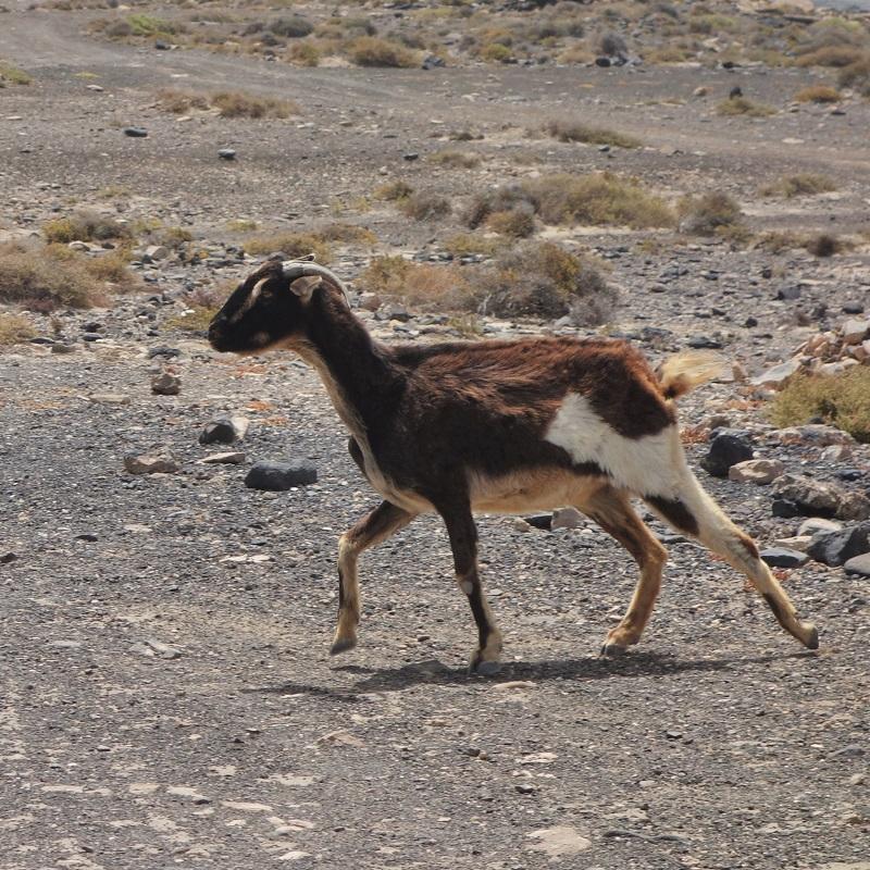 Zdivočelá koza