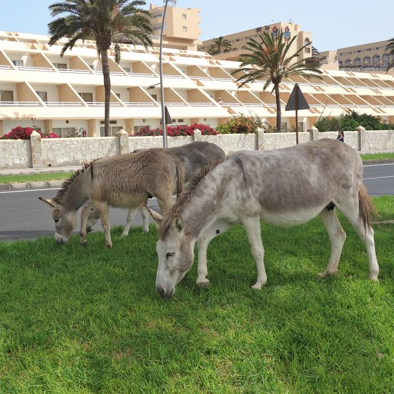 Zdivočelí osli