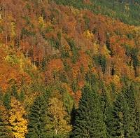Přirozený krkonošský les