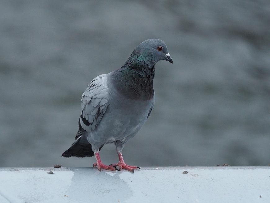 Trutnovští holubi se ještě nenaučili krást krmení určené pro kachny