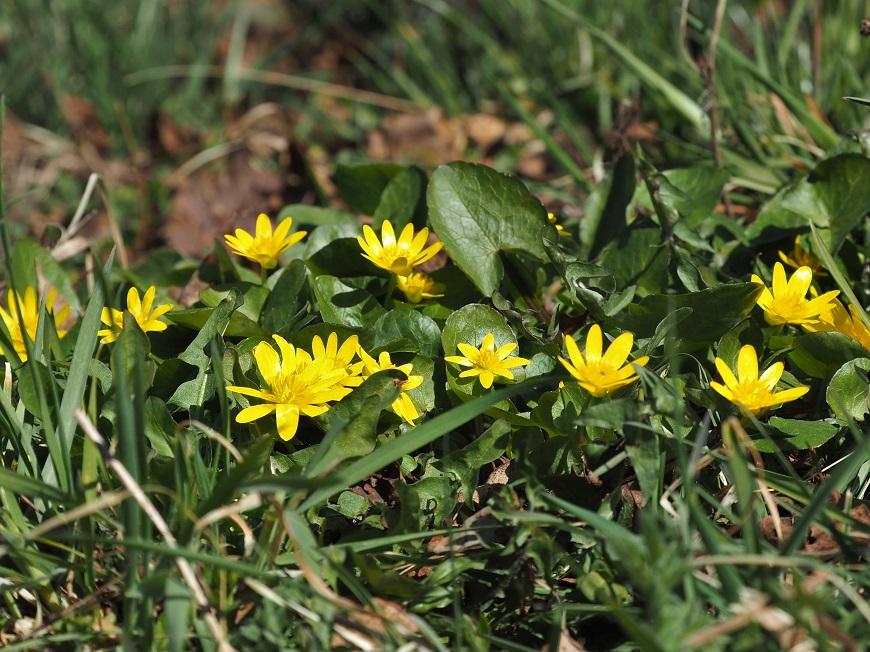 Flora Krkonoš: Orsej jarní