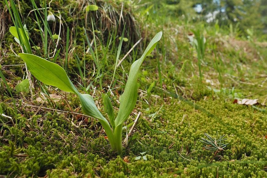 Flora Krkonoš: Vemeník dvoulistý / zelenavý