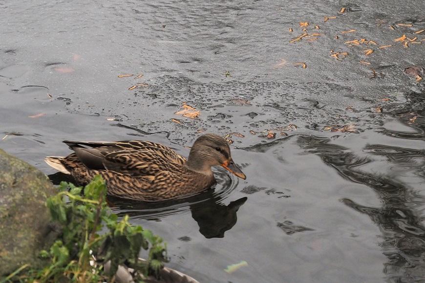 Přikrmování vodních ptáků