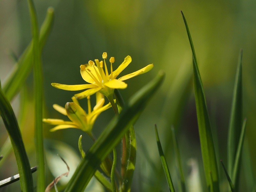Flora Krkonoš: Křivatec žlutý