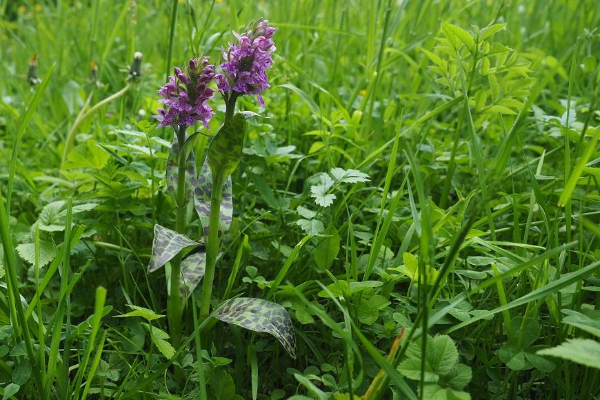 Prstnatec májový je nejběžnější orchidejí na podmáčených loukách