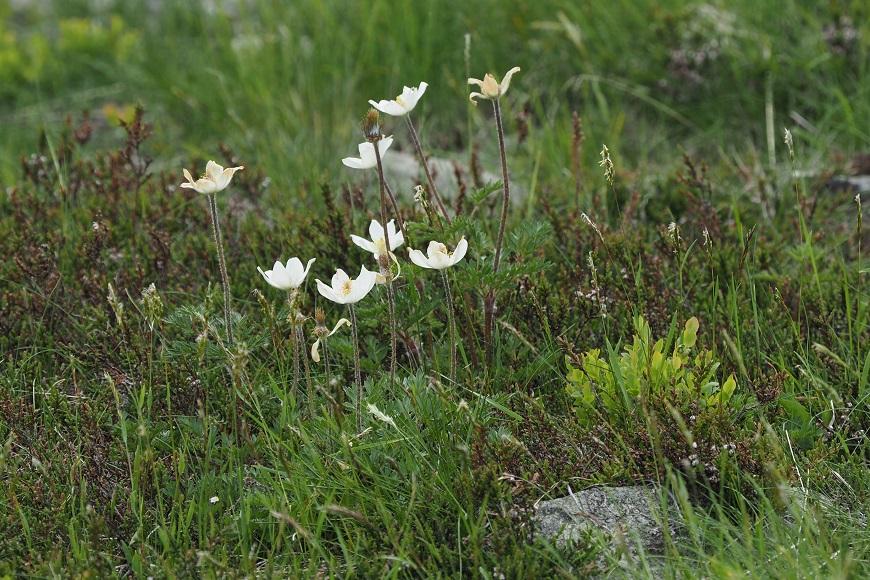 Flora Krkonoš: Koniklec alpínský bílý