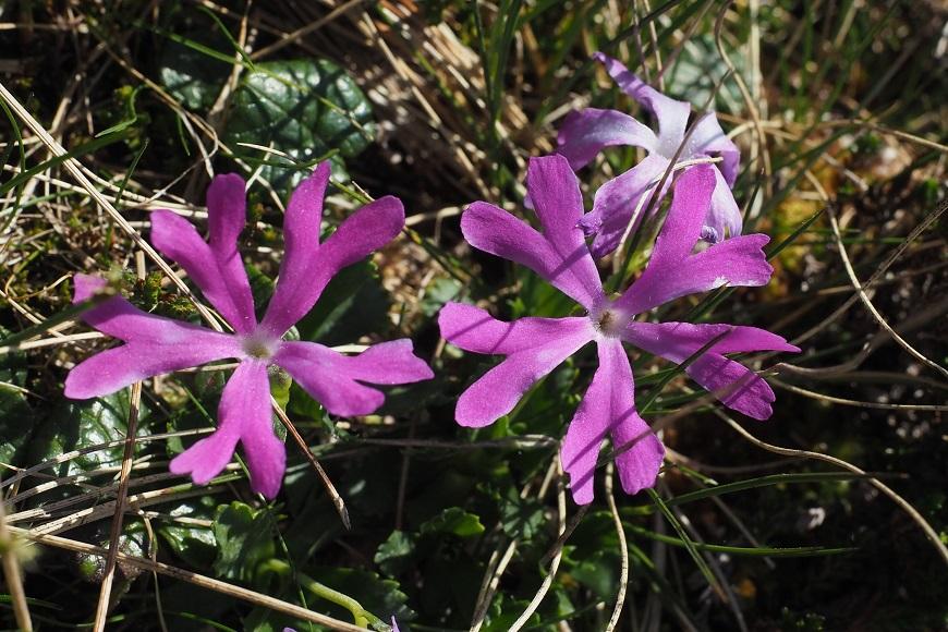 Flora Krkonoš: Prvosenka nejmenší