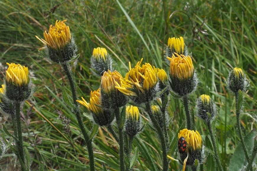 Jestřábník trubkovitý, květ